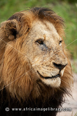 Lion (Panthero leo), MalaMala Game Reserve, Greater Kruger National Park, South Africa