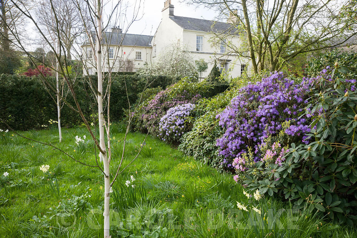 Woodland garden with rhododendrons and white stemmed birchesSummerdale House, Lupton, Cumbria, UK