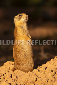 utah_prairie_dog_watch_post