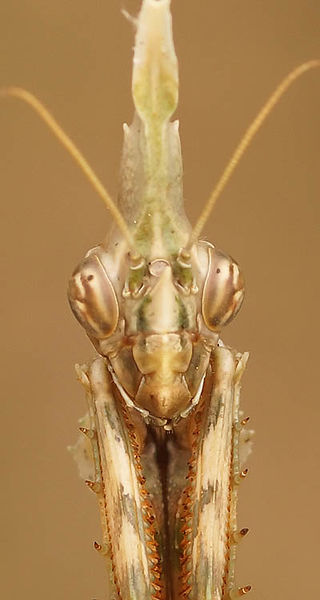 Mantidae - Bidsprinkhanen - Praying mantis
