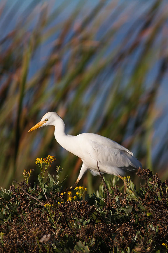Egret (sp.), Strandfontein, South Africa