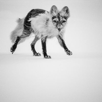 6740-Polar_fox_Svalbard_2014_Laurent_Baheux