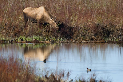 Moose (Alces alces) along the Eyak River, Copper River Delta, Alaska