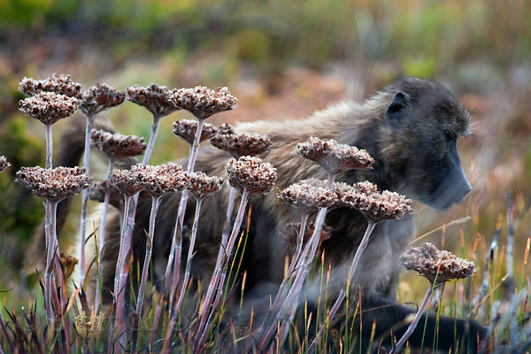 A chacma baboon from the Kanonkop troop foraging in fynbos, Smitswinkel Flats, Cape Peninsula, South Africa