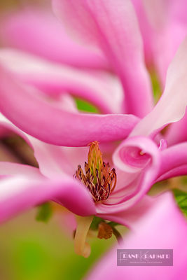 Purple magnolia (magnolia liliiflora)  - Europe, Germany, Bavaria, Upper Bavaria, Munich - digital