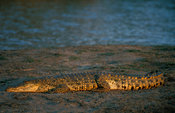 Nile crocodile ( Crocodylus niloticus), Kruger National Park, South Africa