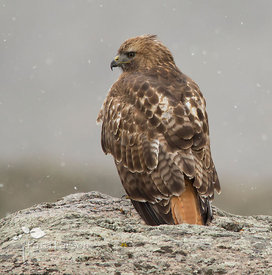 Red-Tailed Hawk in Yellowstone