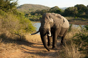 African elephant at the Hluhluwe River,  ( Loxodonta africana africana), Hluhluwe-Imfolozi Game Reserve, South Africa