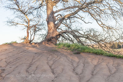 Trees and erosion of the bluffs, Fair Oaks, near Sacramento