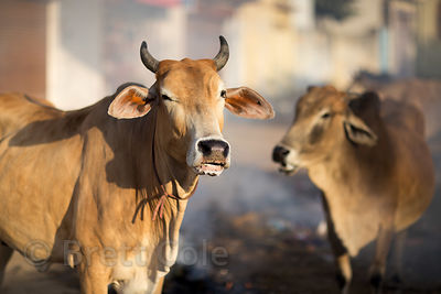 Cows eat flaming garbage at a market in Pushkar, Rajasthan, India. This is common for cows in India.