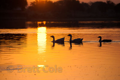 Geese on Gadi Sagar Lake, Jaisalmer, Rajasthan, India