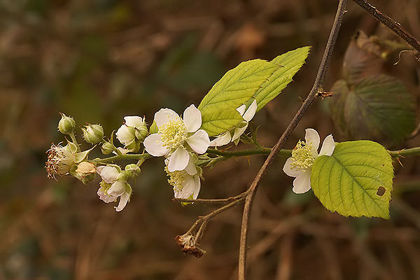 Rubus species , blossoming in the fall ...