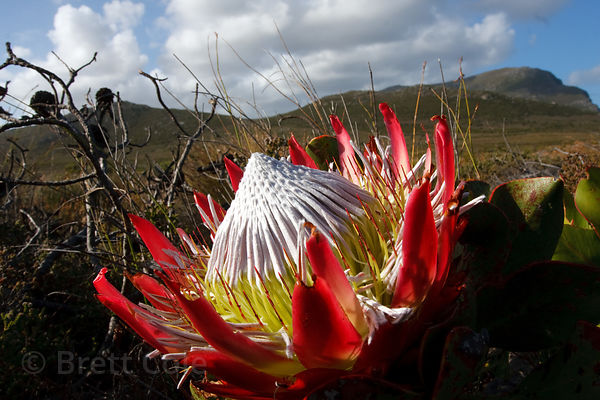 King Protea (Protea cynaroides), largest in the Protea genus, Patry's Valley, Cape Peninsula, South Africa