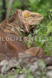 galapagos_land_iguana_turned-3