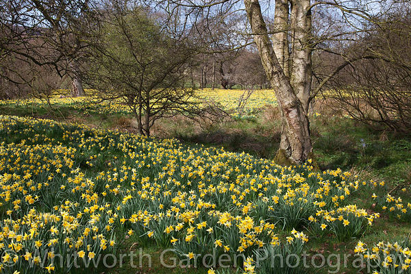 Narcissus pseudonarcissus naturalised and growing wild in the Farndale Valley, North Yorkshire