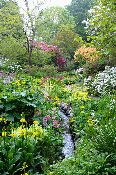 Lush streamside planting includes hostas, candelabra primulas such as yellow Primula prolifera and pink P. japonica 'Apple Bl...