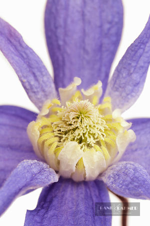 Clematis (clematis)  - Europe, Germany, Photo studio - digital