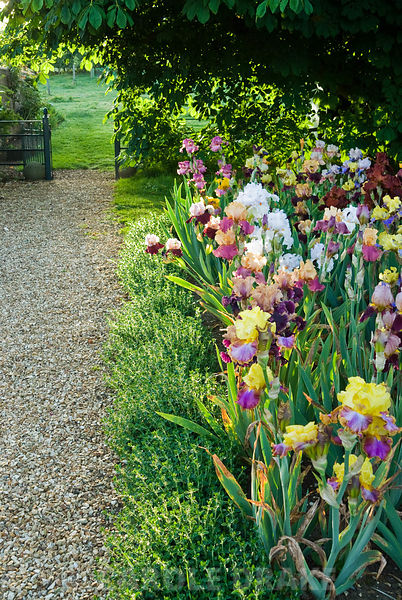 Bed of mixed bearded irises beside gravel path leading to adjoining field. Old Rectory, Kingston, Isle of Wight, Hants, UK