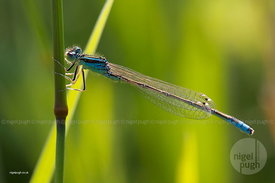 SCARCE BLUE-TAILED DAMSELFLY: