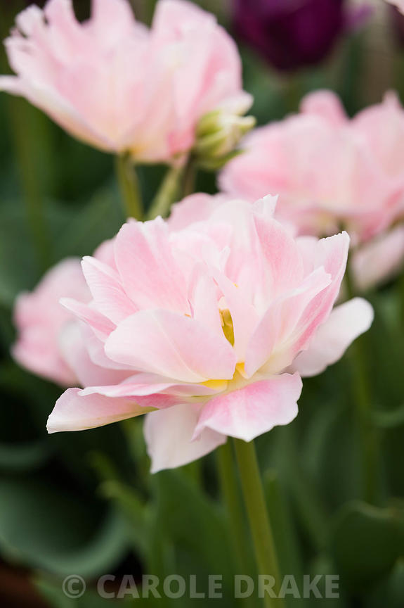 Tulipa 'Angelique'. Rousham House, Bicester, Oxon, UK