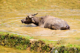 Buffalo in Muddy Rice Paddy