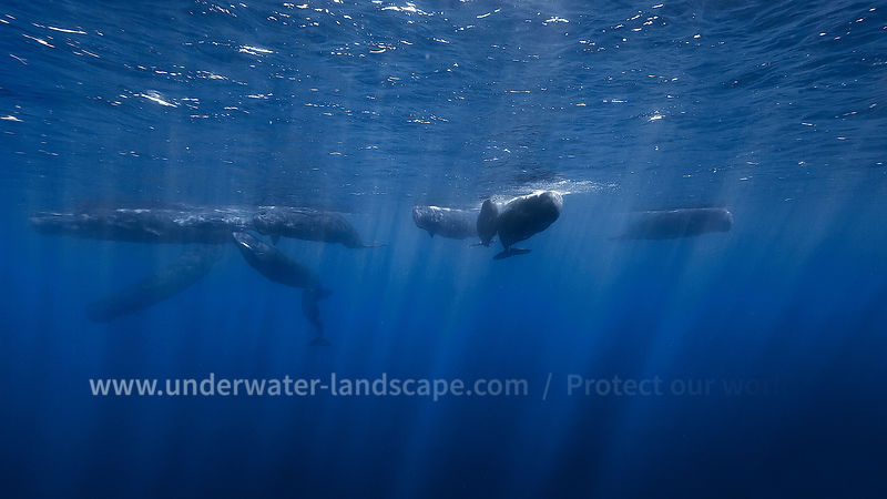 Sperm Whale pod - Underwater photography