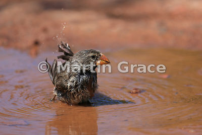 Medium Ground Finch female bathing (Geospiza fortis), Santa Cruz, Galapagos Islands