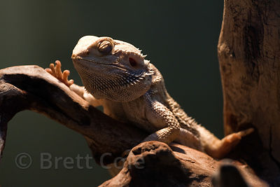 Inland bearded dragon ( Pogona vitticeps), National Zoo, Washington, D.C.