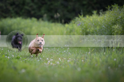 two dogs chasing playing running fast in mowed grass in summer