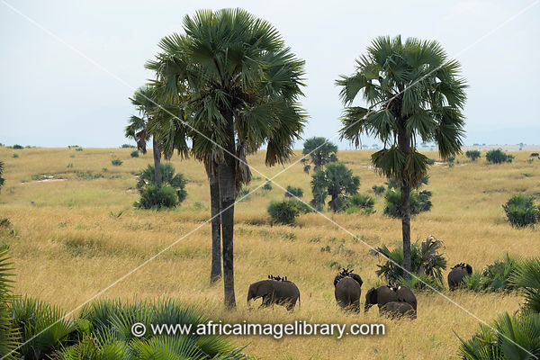 African elephants with piapiacs on their backs between borassus palms, Loxodonta africana africana, Murchison Falls National ...