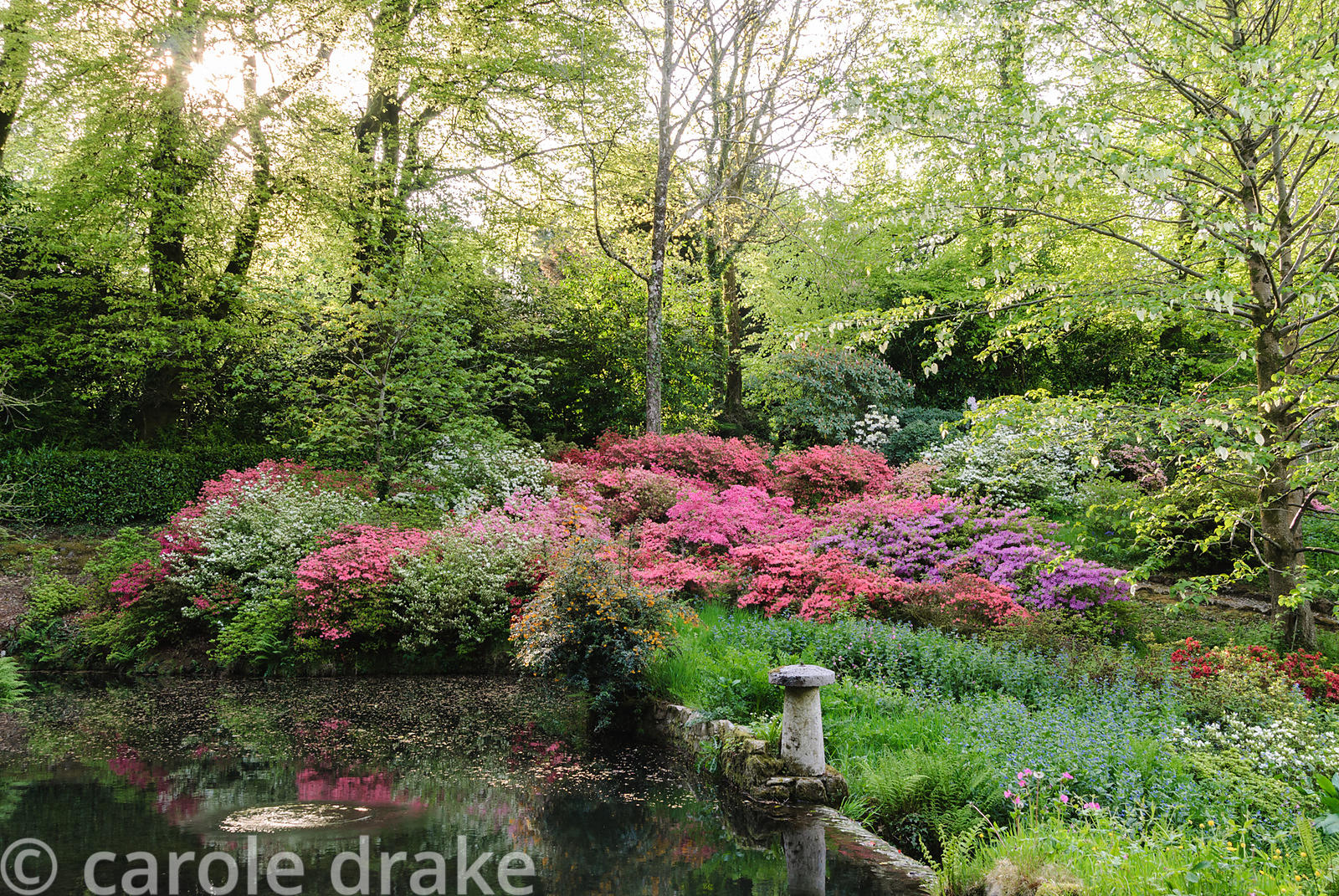 Vivid mounds of azaleas cluster below a handkerchief tree, Davidia involucrata, beside the lower pond. Lukesland, Harford, Iv...