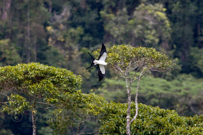 American swallow-tailed kite (Elanoides forficatus) in flight, Las Nubes Reserve, Costa Rica