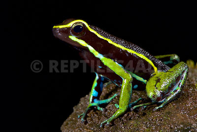 Three-striped poison dart frog (Ameerega trivittatus)
