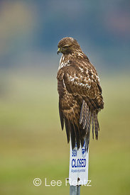 Juvenile Western Red-tailed Hawk (Buteo jamaicensis) atop refuge sign in Ridgefield National Wildlife Refuge along the Columb...