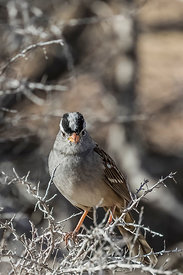 White-crowned Sparrow in Cathedral Gorge State Park