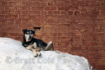 A dog rests atop a large sack full of plastic recycleables, Delhi, India