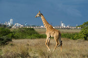 Maasai giraffe (Giraffa camelopardalis tippelskirchi) walking in front of the Nairobi skyline, Nairobi National Park, Nairobi...