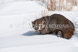 badger_snow_portrait_02