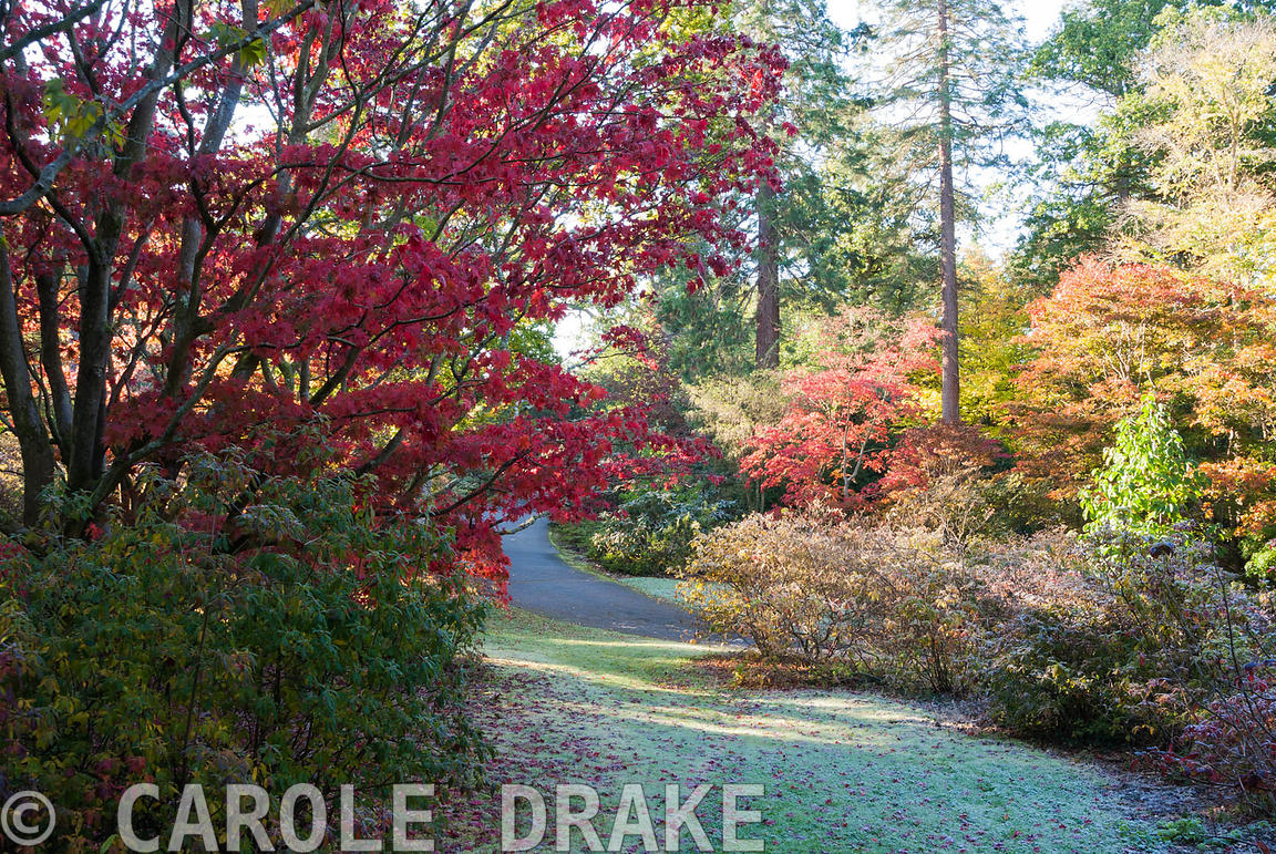 Frosted azaleas, maples and tall conifers in Yard Wood. Exbury Gardens, Exbury, Hants, UK