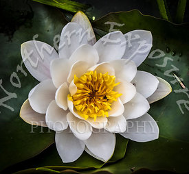 White_WaterLily