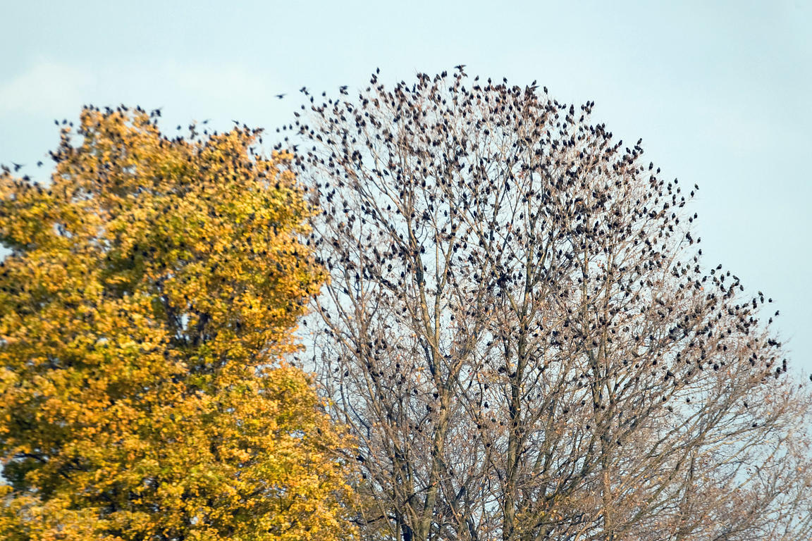 A large flock of songbirds scatter from a tree near Sringfiled, Ohio