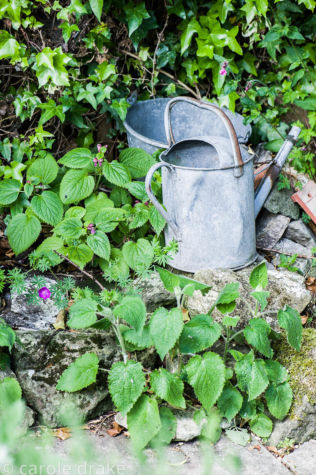 Old galvanised bucket and watering can amongst Lamium orvala.