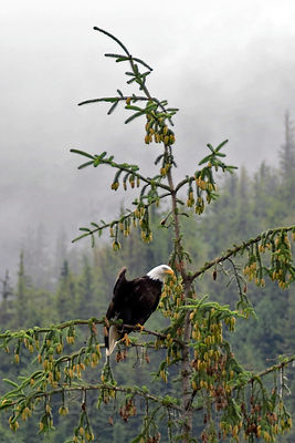 Bald eagle (Haliaeetus leucocephalus) flaring its wings atop a Sitka spruce (Picea sitchensis) tree. The Sitka shows a heavy ...