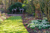 A pair of greyhounds form a focal point beyond a border with naturalized snowdrops at Windy Ridge, Little Wenlock, Shropshire...