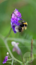 Tufted Vetch wildflower & Bombus Hortorum bee