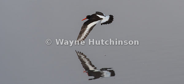 Ostercatcher, haematopus ostralegus,  flying low over a misty lake. North Yorkshire, UK.