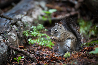 Red_Squirrel-1K9Z1974