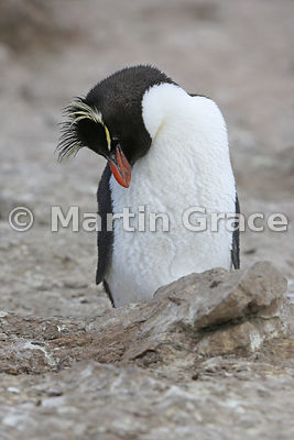 Southern Rockhopper Penguin (Eudyptes chrysocome chrysocome) fast asleep standing up at the edge of the colony, Cape Coventry...