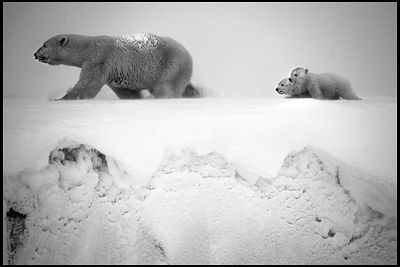 1261--Polar_bear_with_cubs_Baffin_Island_Canada_2016_Laurent_Baheux