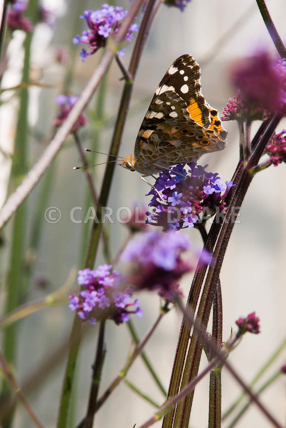 Painted lady butterfly, Vanessa cardui, on purple flowers of Verbena bonariensis. Clovelly Court, Bideford, Devon, UK